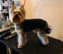 pictures of puppy haircuts for yorkie dogs 12 best good styles for my girls images on pinterest haircut