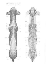 Dog Anatomy Front Leg 12 Best Chien Images On Pinterest Animals Animal Anatomy And