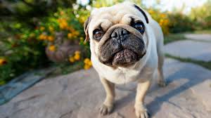 the pug my doggy rocks