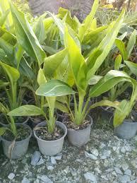banana plants and banana seeds for sale at the banana tree tropical