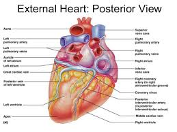 Heart Anatomy Arteries Human Anatomy External Heart Posterior View Right And Left