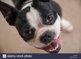 australian shepherd teeth dog showing teeth stock photo royalty free image 135371494 alamy