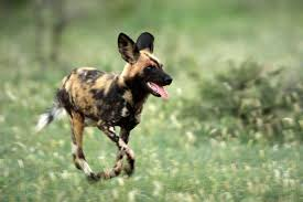 african wild dog wallpapers 44 african wild dog android