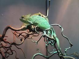 chameleon lizard terrarium terrarium animals yemen chameleon