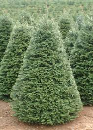 real christmas trees for sale tel hi christmas tree sale tel hi