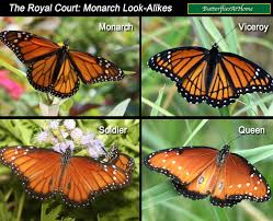 monarch butterflies life cycle migration milkweed tagging