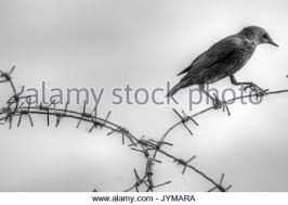 black and white juvenile starling on barbed wire fence stock photo
