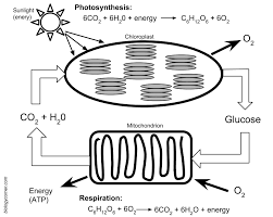 Photosynthesis And Cellular Respiration Worksheet Photosynthesis And Respiration Model