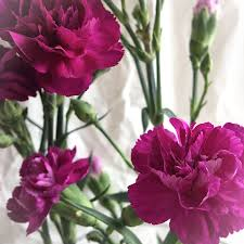 purple carnations square greeting card blank carnations purple i miss my garden