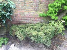 approx 30 box hedge shrubs all around 40cm high in hale
