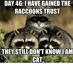 Meme Generator Raccoon - day 46 have gained the raccoons trust they still don t knowiam cat