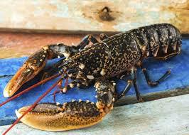 cuisiner homard vivant vente en ligne de homard breton vivant à l unité fruits de mer