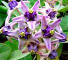 ดอกรัก - Biogang Blog