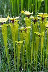 native nc plants 369 best pitcher plants images on pinterest carnivorous plants