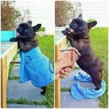 French Bulldog Meme - my bulldog is a gold digger meme by peebee memedroid