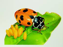 ladybirds every child u0027s favourite bug australian geographic