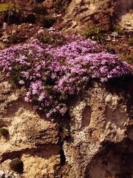 Phlox Flower How Long Do Garden Phlox Bloom Hunker