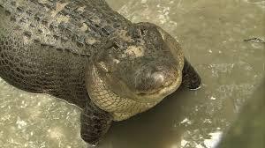 Louisiana wild animals images Alligator louisiana usa hd stock video 773 298 660 jpg