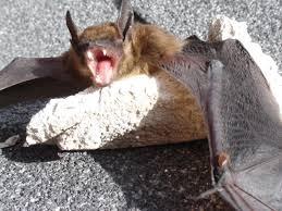 small bat bat removal in rhode island bats in providence batguys