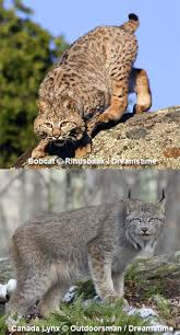 bobcat wildlife hshire fish and department