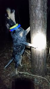 bluetick coonhound treeing 110822828 jpg