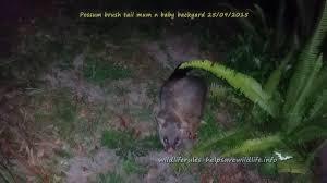 brush tail possum backyard 10 05 2014 http www batsrule org au
