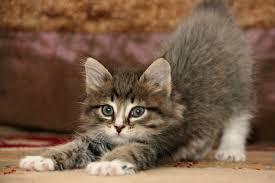 imagenes de gatitos sin frases dudas de comportamiento sobre gatos mundogatos com