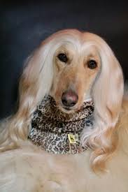 afghan hound snood beautiful snoods on beautiful afghan hound modelling and wearing