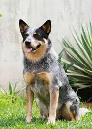 belgian malinois insurance belgian malinois puppies tucson puppies pinterest puppys