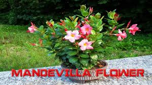 top 10 colorful mandevilla flower ever you seen amazing flowers