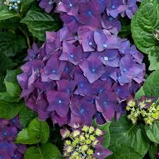 purple hydrangea hydrangea macrophylla purple lacecap hydrangea dobbies