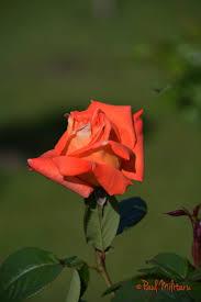 eternal roses paul militaru