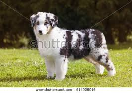 australian shepherd your purebred puppy australian shepherd puppy stock images royalty free images
