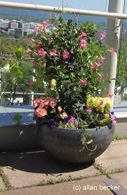 penthouse gardening with mandevilla and skyline journal garden