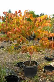redbud forest pansy u2013 creekside tree nursery