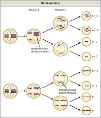 errors in meiosis