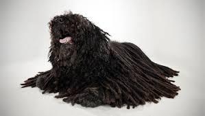 belgian tervuren 101 puli dog breed selector animal planet