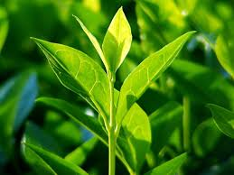 flower power series tea tree u0026 red thyme for the new olivella