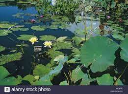 Botanical Garden In Bronx by New York Botanical Garden Bronx Pond Water Lilies Lilly Stock