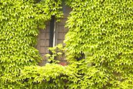 Trellis For Climbers Types Of Climbing Ivy Home Guides Sf Gate