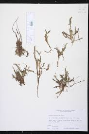 native plants of alabama mayaca fluviatilis species page isb atlas of florida plants