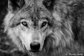 image black and white wolf 19 background jpg jam clans