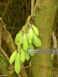 local fruit called bilambi cucumber tree used to make a pickle