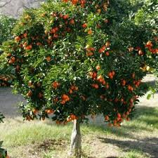 citrus trees for sale nature nursery