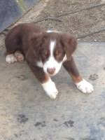 australian shepherd up for adoption search locally for australian shepherd dog puppies and dogs
