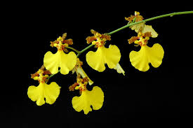 oncidium orchid oncidium san fernando valley orchid society