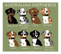 australian shepherd size chart australian shepherd color patterns by briteddy on deviantart