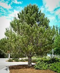 austrian black pine for sale the tree center