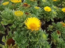 yellow desert flower on the beach of tenerife stock photo picture