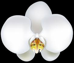 White Orchid Flower White Orchid Flower Clip Art Clipart Free Download Clip Art